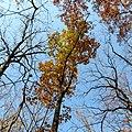 Chestnut Oak (31133059166).jpg
