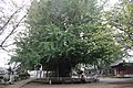 Chiba-dera Temple Ginkgo Tree, Planted 709 AD (29746550740).jpg