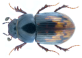 Chilothorax paykulli (Bedel, 1907) Syn.- Aphodius (Chilothorax) paykulli Bedel, 1907 (36976483564).png