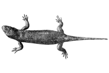 Chioninia coctei.png