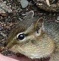 Chipmunk cheek pouch closeup.jpg