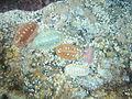 Chiton at Windmill Beach DSC03008.JPG