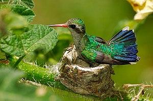 Glittering-bellied emerald - female on nest
