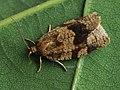 Choristoneura diversana - Листовёртка дымчатая (39490156670).jpg
