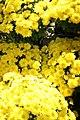Chrysanthemum Sunny Brigitte 3zz.jpg