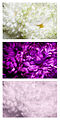 Chrysanthemum flower 1 Spectral Comparison Vis UV IR.jpg