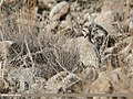 Chukar Partridge (Alectoris chukar) (40921436733).jpg