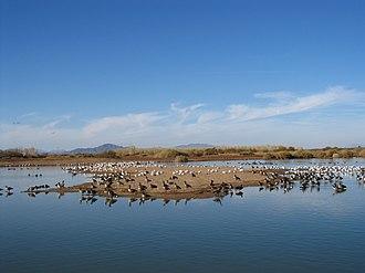 Cibola National Wildlife Refuge - Image: Cibola nwr waterfowl