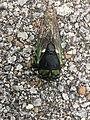 Cicada in Clarksville, TN.jpg
