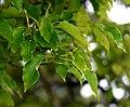 Cinnamomum camphora in Auckland Botanic Gardens 02.jpg