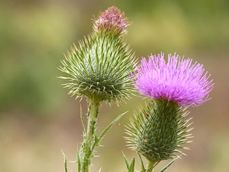 Scotland national rugby league team - The Scotch thistle, open and closed.