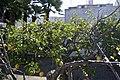 Citrus lemon-2020.jpg