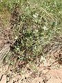 Clematis ligusticifolia kz02.jpg