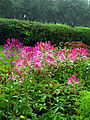 Cleome spinosa (in a flowerbed) 01.JPG