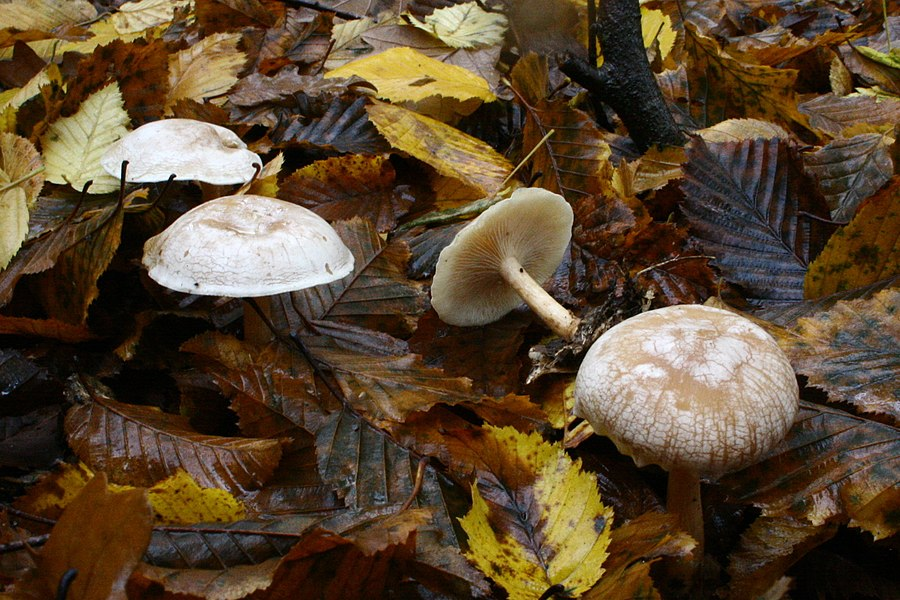 Clitocybe phyllophila in a wood near Vernon, France.
