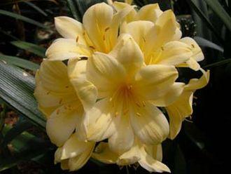 Clivia - Clivia miniata var. citrina