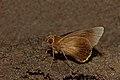Close wing posture Mudpuddle activity of Matapa cresta (Evans, 1949) – Fringed Branded Redeye WLB DSC 3212.jpg