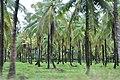 Coconut Grove in Wakenaam - panoramio (3).jpg