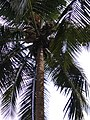 Coconut tree3.jpg