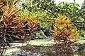 Codiaeum variegatum 27zz.jpg