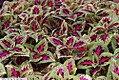 Coleus Color Pride 2zz.jpg