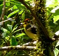Collared Redstart. Myioborus miniatus - Flickr - gailhampshire.jpg