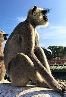 Colobinae Subfamily of Old World monkeys
