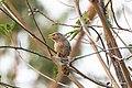 Common Babbler (47030813152).jpg
