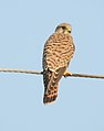 Common Kestrel Falco tinnunculus female by Dr. Raju Kasambe DSCN2086 (6).jpg