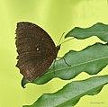 Common Palmfly I IMG 7533.jpg