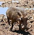 Common Warthog (Phacochoerus africanus) male ... (50217706511).jpg