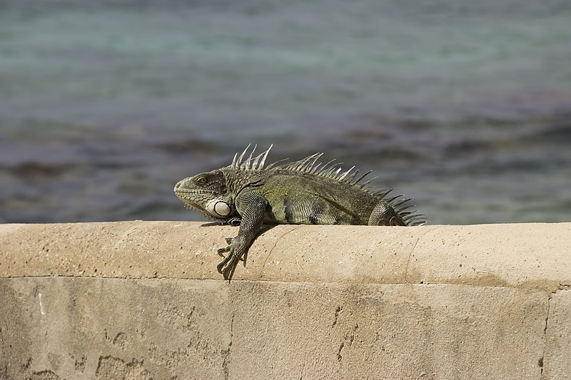 File:Common or Green Iguana (Iguana iguana) (11717938903).jpg