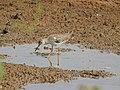 Common redshank-kannur kattampally - 2.jpg