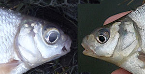Blicca bjoerkna - Left, mature silver bream Right, immature bronze bream