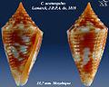Conus acutangulus 2.jpg