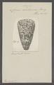 Conus araneosus var. nicobaricus - - Print - Iconographia Zoologica - Special Collections University of Amsterdam - UBAINV0274 086 01 0016.tif