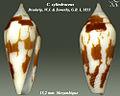 Conus cylindraceus 3.jpg
