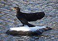 Cormorant on Ice (6298461980).jpg