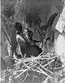 Cormorants nesting on Carroll Island, June 1907 (WASTATE 1372).jpeg