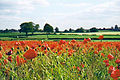 Cornfield poppies near Boroughbridge - geograph.org.uk - 121858.jpg