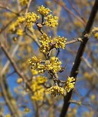 Drieň obyčajný - kvety