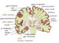 Coronal insula.png