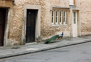 Corsham - A peacock makes his way along Church Street
