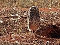 Coruja protegendo seu ninho - Parque da Cidade.jpg