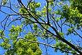 Corylopsis pauciflora kz01.jpg