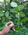 Corylus cornuta (28584755846).jpg