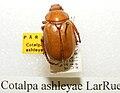 Cotalpa ashleyae sjh.jpg