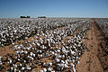 Cotton field, West Texas.jpg