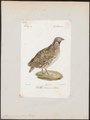 Coturnix communis - 1842-1848 - Print - Iconographia Zoologica - Special Collections University of Amsterdam - UBA01 IZ17100117.tif