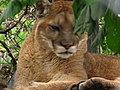 Cougar 1 (9110137853).jpg